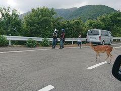 登ってる途中に野生のシカ発見! バンビちゃん。
