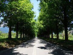 高島市マキノ町のメタセコイアの並木道  直線で2.4キロ、街路樹百景に選ばれています