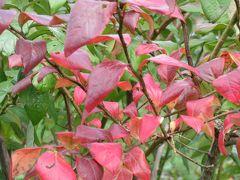 ブルーベリーの紅葉♪ 他の木々より ほんの気持ち早く 鮮やかな紅に染まります(^^)  先ずは川場田園プラザのブルーベリー畑へ 広いブルーベリーの丘がお出迎え!