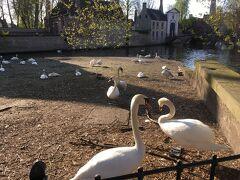 愛の湖公園、というやけにロマンチックな名前の公園まで歩いてきました。白鳥がたくさんいます。