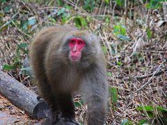 歩き方からしてもオス猿で、もしかしたら権力のあるボスサルかも。  先ほどの母猿が子供をしっかりと抱えていた理由は、多分このオス猿から子猿を護る為だったのだね。
