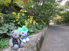 大殿大路の龍福寺の参道の紅葉は今年は台風の影響か今イチでしたが、ツワブキはきれいです。