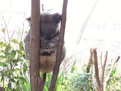 オーストラリアに来たらカンガルーとコアラは見て帰らないとねー!かわいいー!癒される~!