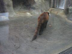 天王寺駅で友達と久々の再会! 本日も動物園ですw レッサーパンダの後ろ姿。 しっぽがちょっと痩せてる??