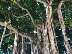 バニアンツリー  Hawaiiでよく見るBanian treeは、ベンガル菩提樹と言う菩提樹の仲間です 大きく横に広げた枝から気根という長い根を垂らすのが特徴で、気根は地面に届くと新しい幹になり成長を助けます 生命力旺盛なこの木は、長寿や豊かさの象徴とされています 有名なのは、マウイ島ラハイナに有る樹齢100年を超えるBanian tree (2700平方メートル) Waikikiでは、モアナサーフライダーとインタマかな?