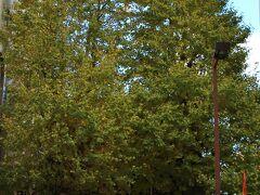 誕生八幡神社のイチョウはまだ綺麗に黄葉していませんでした。これから黄葉するのでしょうか。
