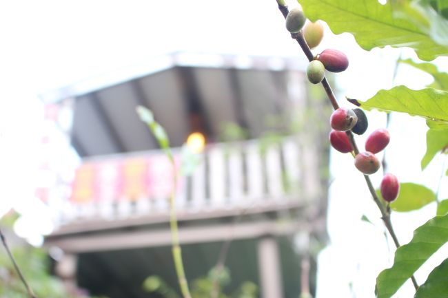 コーヒー豆は、お店からすぐのところ栽培している。<br /><br />「初めて豆の栽培しているのを見た」というと<br /><br />オーナーさんはにっこりと笑った。