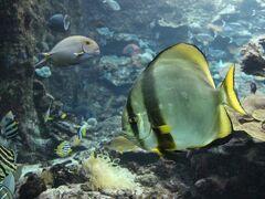 枯木灘海岸の南端にある串本海中公園へ。 まずは水族館へ。  このあたりの海に生息している魚などが見られます。 私のお気に入りのツバメウオ。 昔、沖縄でダイビングしたときに、ツバメウオが50匹くらいの群れで泳いでいて、一斉に回れ右をしたのが強烈なインパクトでした。