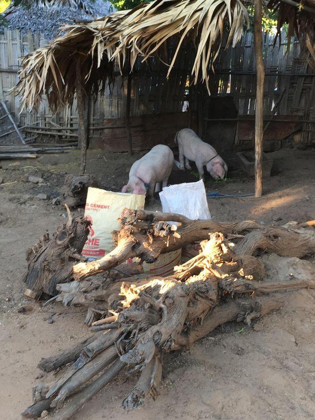 村の中心部では養豚があった。