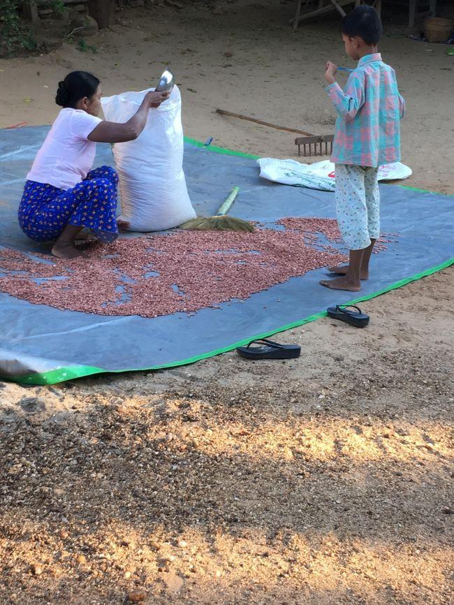 ミャンマーはピーナッツ栽培が盛ん。<br />これは干しているところ。<br />確かに飲食店に行ったら、先付けとして良くピーナッツが出てきた。<br />ピーナッツは今回のお土産にもしたよ。