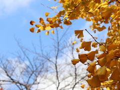 冬のゆるやかな青空に、深い黄色のイチョウの葉が映えます~