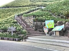 長崎市から車で約30分、長崎半島の先端にある「野母崎水仙の里」で行われている水仙まつりに行ってきました。この公園一帯には、1000万本の水仙があり、私たちが行った1月16日は丁度満開となっていました。