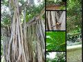 ホテルとワイキキ中心部との間のフォートデルッシー公園のバニヤンツリー。 バニヤンのこの幹のような根っこのような気根が大好き。