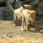 リニューアルされたジュエルミネーションを見たい!と、新聞屋さんからよみうりランドの入園招待券を入手していた私。いつ行こうかと考えていたところ、1月から多摩動物園でチーターの赤ちゃんが公開されていると知った。これはグッドタイミング♪と2か所をハシゴすることに(^O^)  多摩動物園の旅行記↓ https://4travel.jp/travelogue/11446315 「チーターのふわふわ5つ子ちゃんと オランウータンの赤ちゃん&キューの誕生会@多摩動物公園」