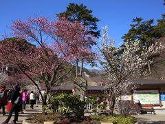 熱海梅園 11:25頃  この日の梅園の開花状況は、 園内全体:4分咲き 早咲き:見頃 中咲き:2分咲き 遅咲き:これから でした。