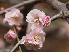 ブラフ18番館 玄関先の梅の花  いつものように、JR石川町駅からスタート。 イタリア山の坂道を上り、ブラフ18番館に到着。 玄関先の石段脇にある梅が咲き始めていました。 まだ蕾も多く、2~3分咲きといった感じです。