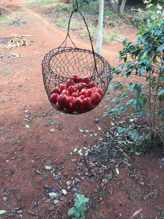 外につるされたトマト。