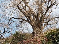 荏柄天神社 石段の右手にある大銀杏と紅梅