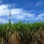 見渡す限りのサトウキビ畑と