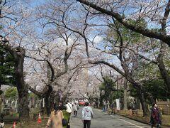 そのまま近くの谷中霊園へと進みます。桜並木の桜は満開を少し過ぎた辺り。