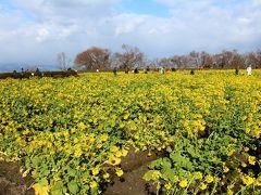 PIERIから、今日のお宿の琵琶湖マリオットに向かう途中にこの時期1番の名所あり♪ 咲き誇る菜の花~。 満開だね、良い時期に来れて嬉しいな~