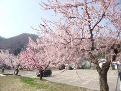 上山田温泉に泊まった際、立ち寄り湯に来ていた地元の人から「あんずの里」の話を聞いた。千曲市に一目10万本と言われる見事な「あんずの里」があり、見渡す限りあんずの花で埋まるという。その「あんず祭り」が4月1日から始まったと聞き、それではと、4月2日早速出かけて行た。  愛車で、L18号線を走り、屋代から森・倉科地区を目指す。途中からは案内看板に沿って進み、JAちくま森支所ちかくの運動広場の有料駐車場に車を止めた。代金は¥500だった。午前9時とまだ早かったので、大きな駐車場には数台の車が止まっているだけだった。駐車場の周りもあんずの花盛りだった。