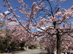 1時間くらい散策した後は大室山へ向かいます。 近くのボラ小屋でお昼を食べようと思っていたけど、まだ11時前なのでもう少し後で食べることにします。  お昼は何にしようかなぁ~。 お刺身も良いけどジャンボエビフライも捨てがたい…  海岸線から国道に出ると、河津桜の桜並木が目に入ったので伊豆高原駅に寄り道です。 駅前のパーキング(100円/時間)へ停めて、桜並木の鑑賞です。