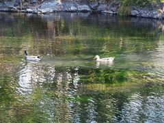 湧玉池(わくたまいけ)。特別天然記念物。 平安朝の歌人平兼盛が「つかうべきかずにをとらむ浅間なる御手洗川のそこにわくたま」と詠じたそうです。