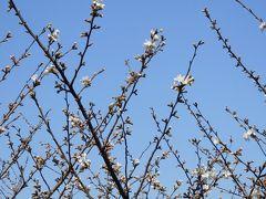 ディズニーシーのピクニックエリアには桜の木が十数本植えられています。  ミラコスタの通路を通ろうとしたら、蕾が少しずつほころんでいるのが見えたので思わず立ち止まってパチリ☆  春ですね~(*´-`)
