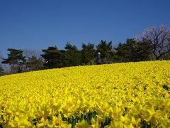 早咲きスイセンの咲くスイセンの丘に到着。 広大な園内で華やかだったのはこの場所だけのようです。