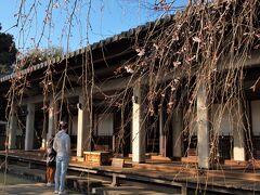 谷中/ 護国山尊重院 天王寺 善性寺から日暮里駅南口前を通って坂を上ると谷中霊園です。 登り切ったすぐ左手にあるのが天王寺です。 本堂前のしだれ桜はようやく咲き始めたところ。 ここのしだれ桜も小さくて可愛らしい桜です。
