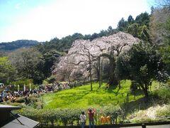 墓所の手前を折れて歩くと、紹太寺の天然記念物 枝垂桜がある。