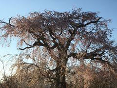 枝垂れ桜は満開!逆光になっちゃった(^^;) まわりは人だらけ!