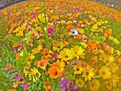 お花畑では、5月上旬まで色を変えて7種類の花が田を飾る。