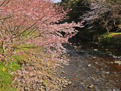 2019年の桜は同じ地域でも、ちょっとした日当たりの差で花の開き具合が全然異なる。 その傾向は西伊豆でも同じ様で、先ほどのお花畑エリアでは桜は未だ1分程度しか咲いていなかったのだが、花畑から車で5分の道の駅【花の三聖苑】の大沢桜並木は7分咲き以上の開花で、花見を楽しんでいる方の姿もチラホラ。