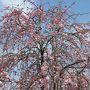 嵐山公園(中ノ島)はのんびりと川や橋を眺めたり、温泉や食事処もあったりと好きな場所です。枝垂桜は満開でした。