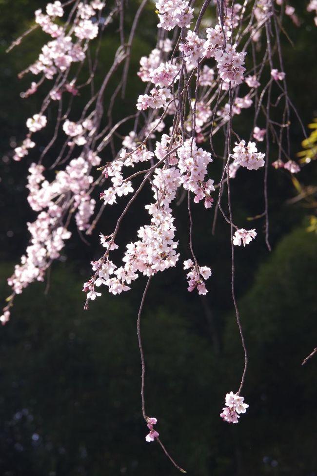 愛知県の東端、設楽町の桜めぐり。淡いピンクのエドヒガン桜を中心に ...