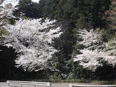 野田山頂上付近の桜