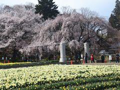今日の目的地は実相寺。ここに日本最古のサクラがある。山高神代桜と呼ばれるエドヒガンザクラで、日本武尊が植えられたという伝説がある。推定樹齢は1800年あるいは2000年だ。樹高10.3m, 幹囲11.8m、枝張りは東西17.3mという(https://www.hokuto-kanko.jp/sp/sakura_jindai)。また4travelではbunbunさんによる詳しい紹介がある(https://4travel.jp/travelogue/11477464)。  境内には沢山のサクラが植えられ、水仙も見事である。