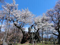 これが山高神代桜。樹齢2,000年ともいわれるエドヒガンザクラ。幹がすごい。