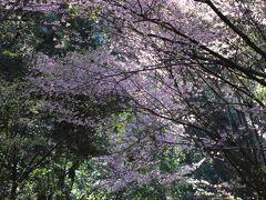 緩い登り坂を歩いて、 15分で近江神宮の参道に到着 (一の鳥居と二の鳥居の間)