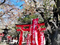 次の目的地「於菊稲荷神社」へ到着。  「今年は桜も皆さんが来られるまで散るのを待っていました」と宮司さんより嬉しいお出迎え。