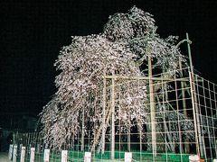 昨年の台風で枝が折れてしまい元気がなくなったようと言われていますが・・・。