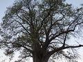 ツアー4日目は、早朝のウォーキングサファリからスタートです。 ジンバブエの国立公園の大きなバオバブの木で、写真タイムとしてジープは停車しました。