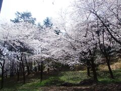 村松公園の桜  ソメイヨシノ中心の約3,000本の桜で有名です。