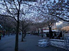 そして進んでいき、公園に抜けた。 日本人会の桜まつりがやってたらしいがもう撤収済み。 桜、もう終わりかけね。。てかこんなところで桜。。。これはなんだろう、と思ったがあとで写真を見たら濃いピンクなので八重桜のよう。