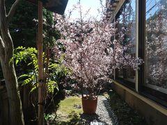 少し戻って予約したランチを ♪ 満開の桜が迎えてくれました!