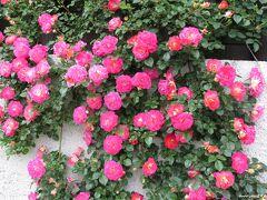 ここからはGWの最終日5月6日の写真になります。  ブラフ18番館 外壁に咲くバラ