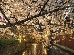 白川にトンネルのようにかかる桜の木のライトアップがとても綺麗