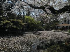 丁度、散っていく桜と見頃の枝が混ざっていて見事な景色になりました。
